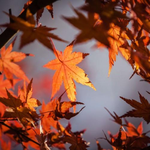 orange autumn leaves in sky