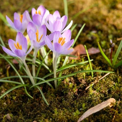 purple blooming springtime flowers